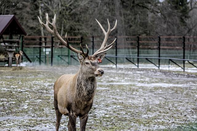 Białowieża, Hart, Horns, Antlers, Demonstration Reserve