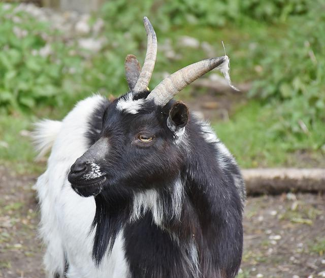 Goat, Bock, Horns, Livestock, Billy Goat, Goat's Head