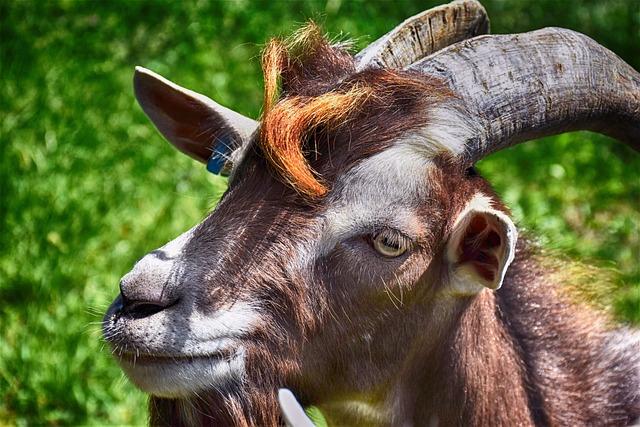 Billy Goat, Livestock, Goat, Horns, Domestic Goat
