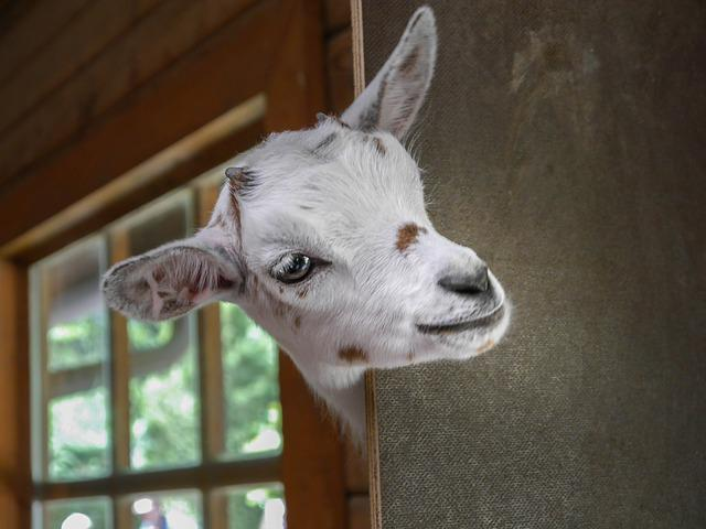 Goat, Zoo, Animal, Horns, Young Animal, Kid