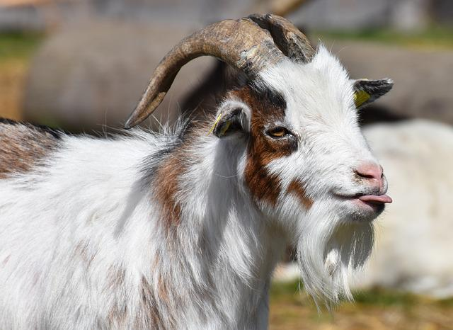 Goat, Tongue, Funny, Billy Goat, Horns, Goatee, Pasture
