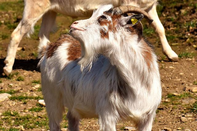 Goat, Funny, Billy Goat, Horns, Goatee, Pasture, Meadow