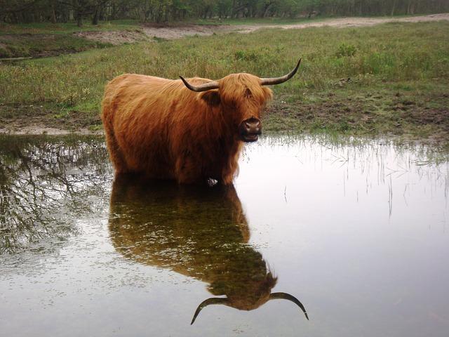 Cow, Horns, Water, Mirror, Dunes, Nature, Landscape