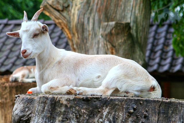 Goat, Animal, Horns, Goats, Zoo, Wild, Horned, White