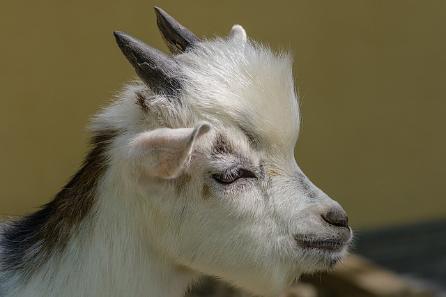 Goat's Head, Horns, White, Domestic Goat, Animal World