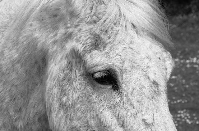 Horse, Horsehair, Mane, œil, Animal, Black And White