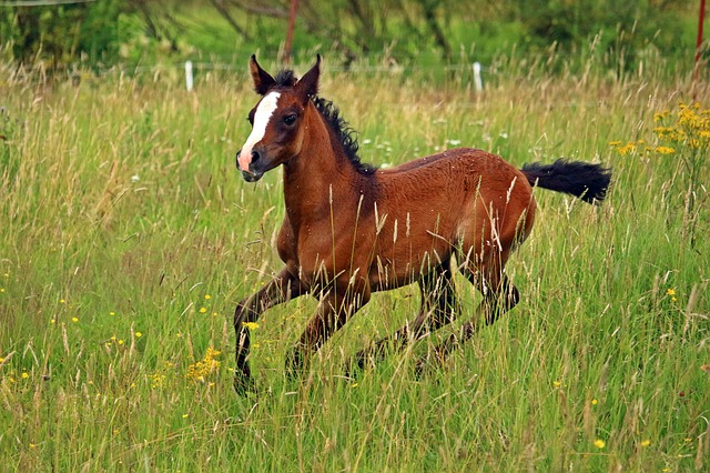 Horse, Thoroughbred Arabian, Foal, Brown, Meadow