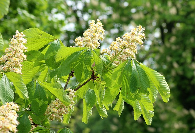 Horse Chestnut, Flowering, Flower Chestnut, May, Leaf