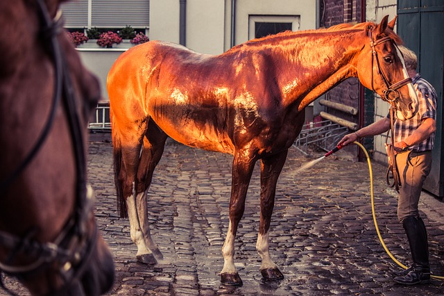 Horse, Horse Wash, Water, Clean, Cool, Summer, Wash