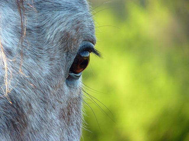 Horse Eye, Horse, œil, Eyes, Horse Head, Equine
