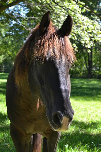 Horse, Black Horse, Equine, Pasture, Gelding