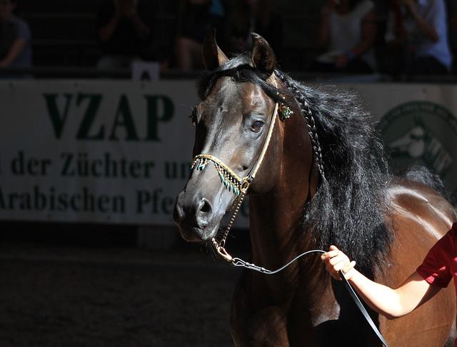 Horse, Arabian Horse, Arabs, Stallion, Horse Head