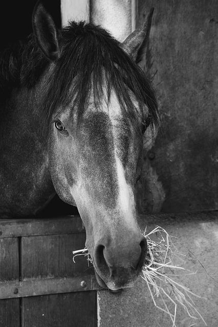 Black And White Photography, Horse Head, Mahne