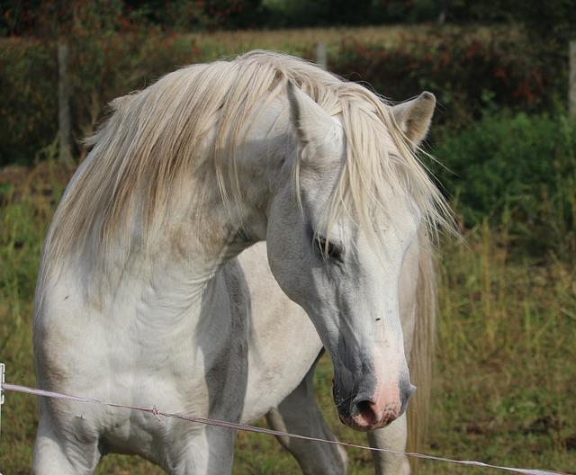 Stallion, Horse, Mold, Thoroughbred Arabian, Horse Head