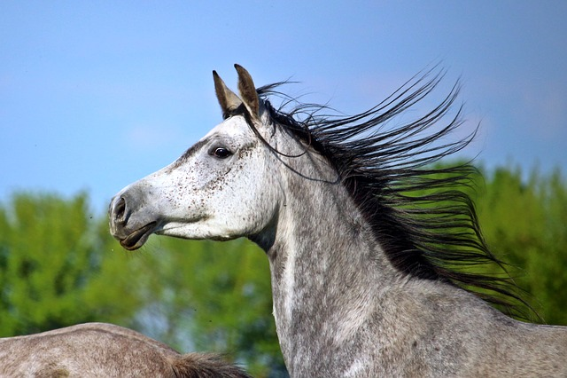 Mold, Horse, Thoroughbred Arabian, Mane, Horse Head