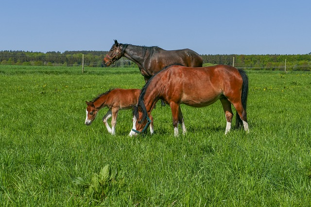 Horse Herd, Pony Filly, Meadow, Field, Grass, Farm