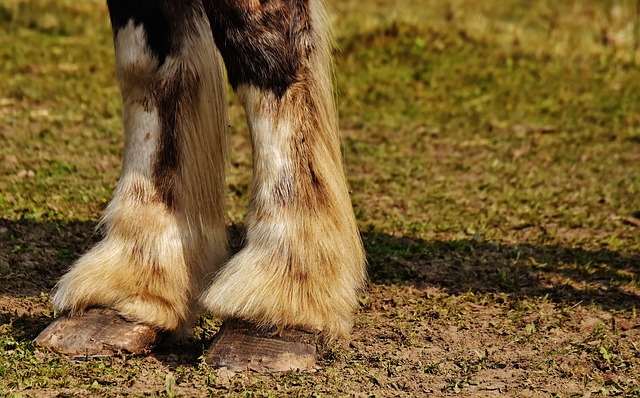 Shire Horse, Horse, Hoof, Forelegs, Big Horse, Ride