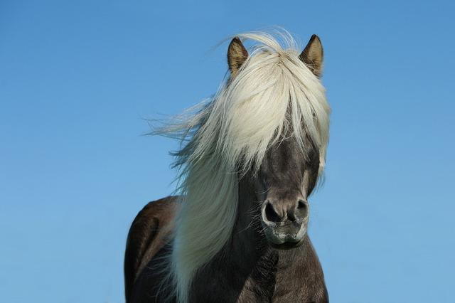 Horse, Icelanders, Iceland Horse, Iceland Pony, Mane