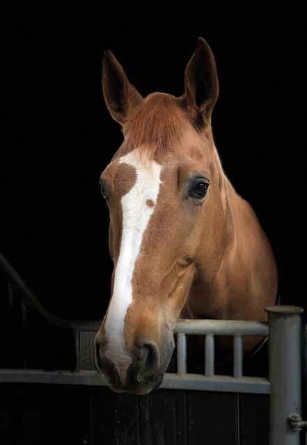 Horse, Head, Portrait, Listing, Animal