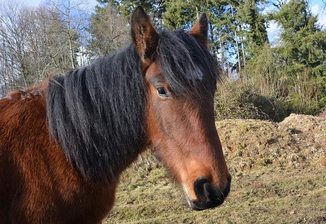 Horse, Head Horse, Postman Irish Cob, Look Horse