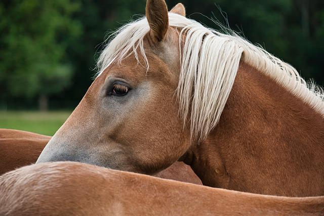Haflinger, Horse, Animal, Pony, Brown, Mane, Horse Head