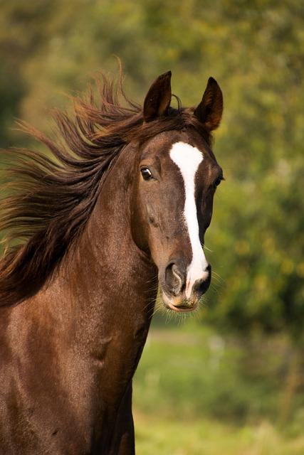 American Saddlebred, Horse, Portrait, Fur, Mane