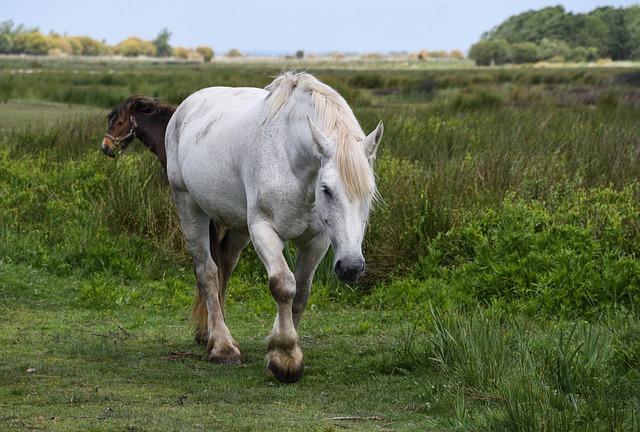 Horse, White, Marsh, Brière, Mare