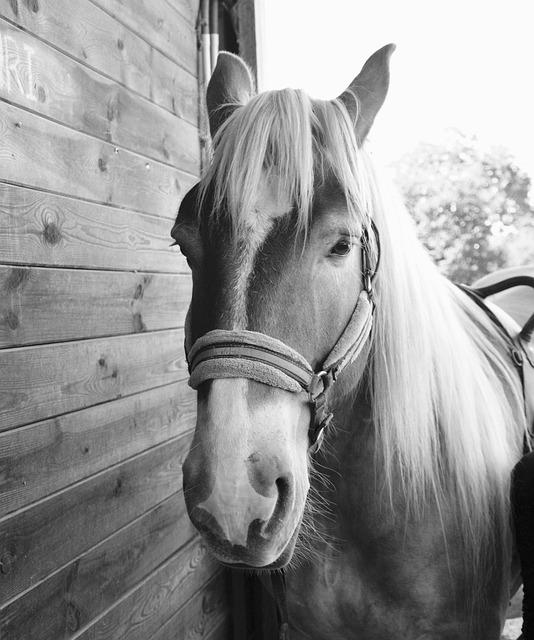 Horse, Photo Black White, Gelding, Animal, Equine