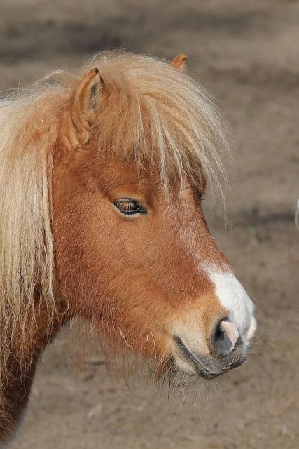 Pony, Portrait, Animal, Nature, Horse