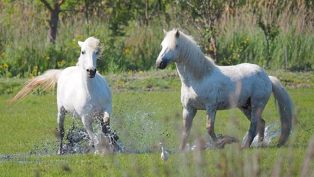 Nature, Horses, Horse-the Camargue
