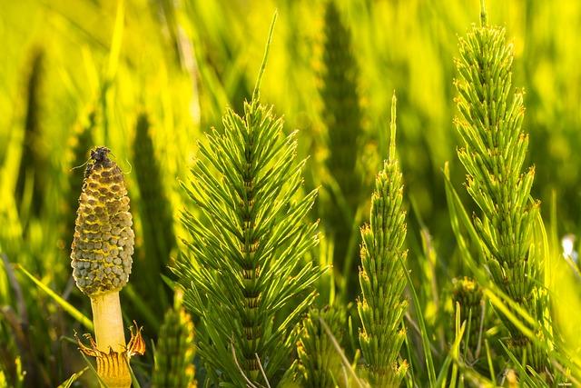 Horsetail, Cattail, Equisetum Arvense, Green