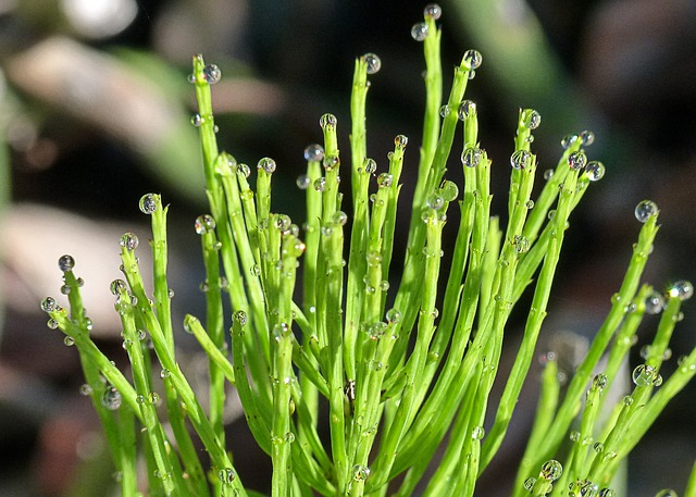 Horsetail, Scouring Rush, Plants, Nature
