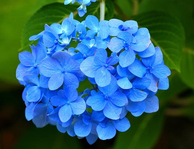 Blue Hydrangea, Hortensia, Flower, Pink, Garden, Flora