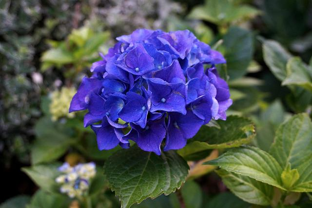 Hydrangea, Blossom, Bloom, Hortensis