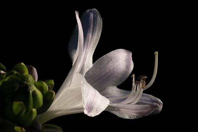 Plantain Lily, Hosta, White Flower, Bud, Plant
