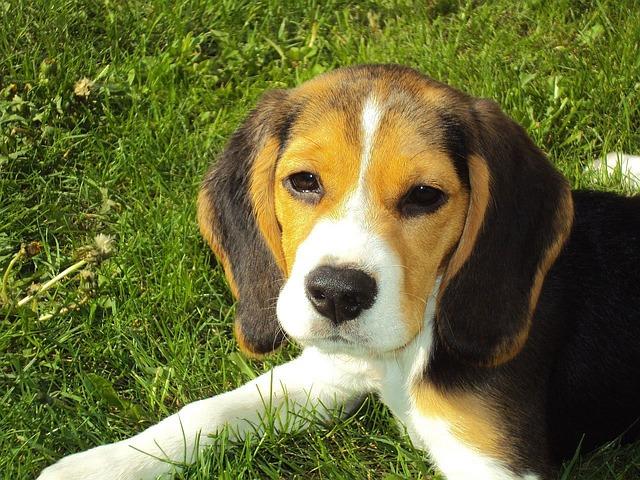 Beagle Puppy, Beagle, Hound, Dog, Canine, Purebred