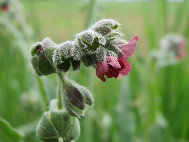 Cynoglossum Officinale, Houndstongue, Houndstooth