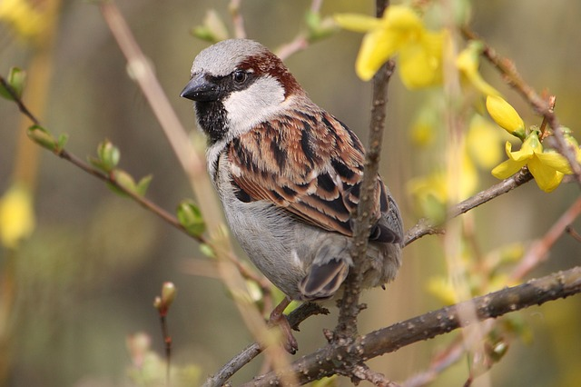 Sparrow, Sperling, Bird, Close, Nature, House Sparrow