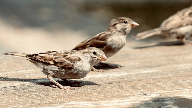 Sparrows, House Sparrow, Sperling, Birds, Nature