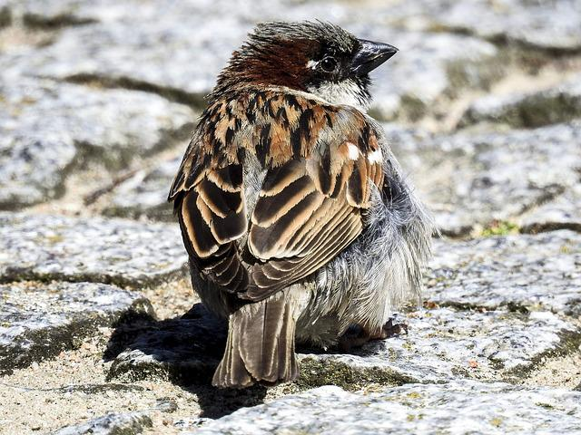 House Sparrow, Sperling, Bird, Songbird, Garden Bird