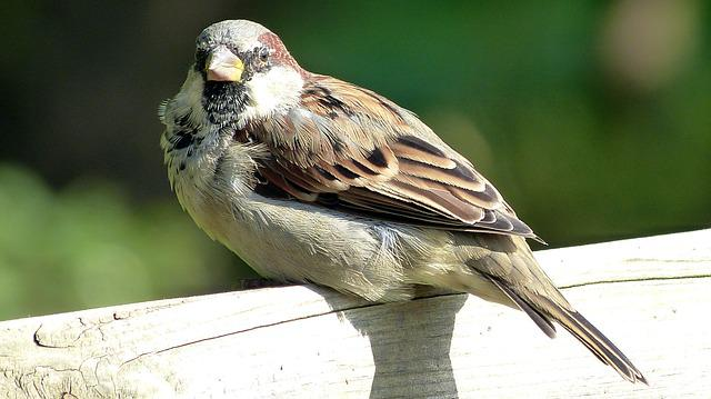 Sperling, Sparrow, Bird, House Sparrow, Close, Sitting