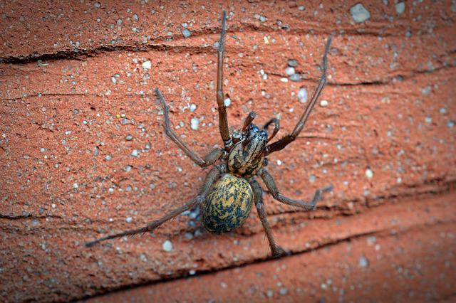 Spider, House Spider, Wide Angle Spider, Insect