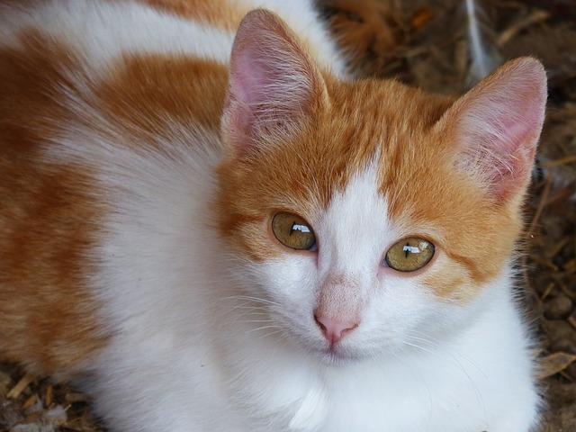 Cat, Puppy, Kitten, Housecat