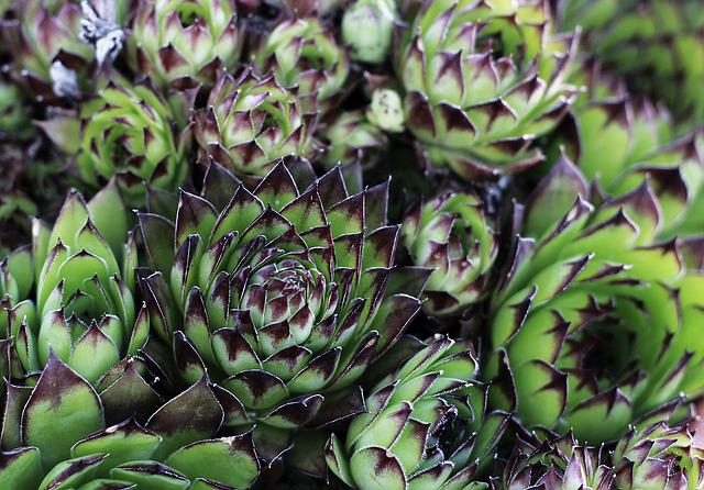 Houseleek, Sempervivum, Bloom, Flower, Plant, Grow