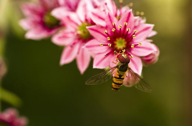 Hoverfly, Houseleek, Garden, Blossom, Bloom, Pink