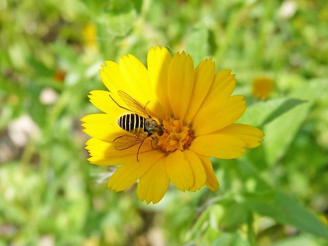 Hoverfly, False Bee, Flower, Libar, Nature, Summer