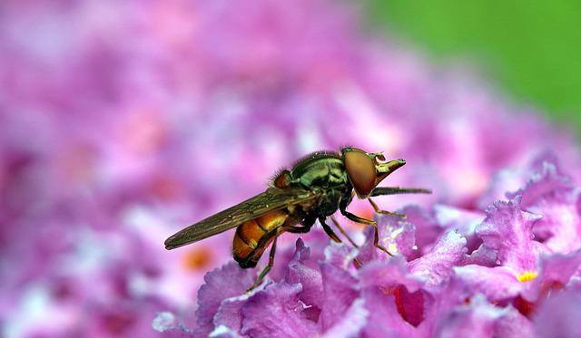 Fly, Field Beak Campestris, Hoverfly