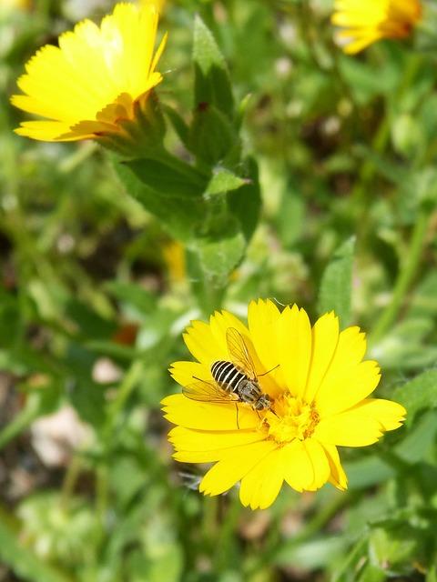 Hoverfly, False Bee, Libar, Flower, Spring, Nature
