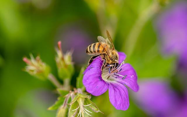 Hoverfly, Dung Fly, Insect, Nectar Search