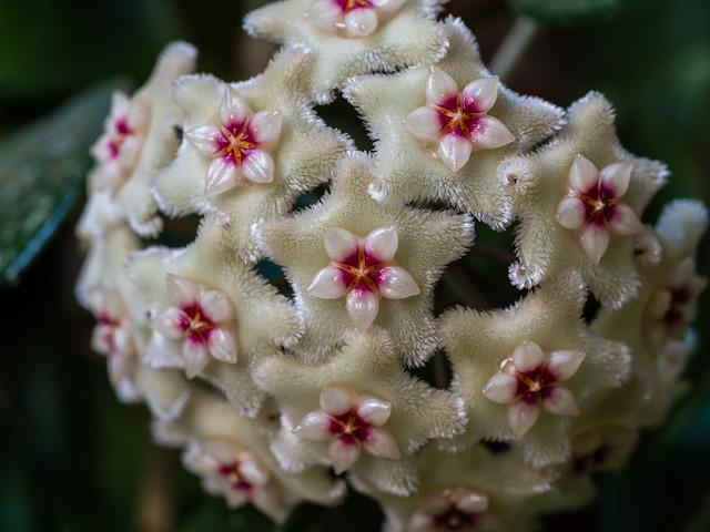 Close Up, Hoya, Sphere, Inflorescence, Flower, Flora